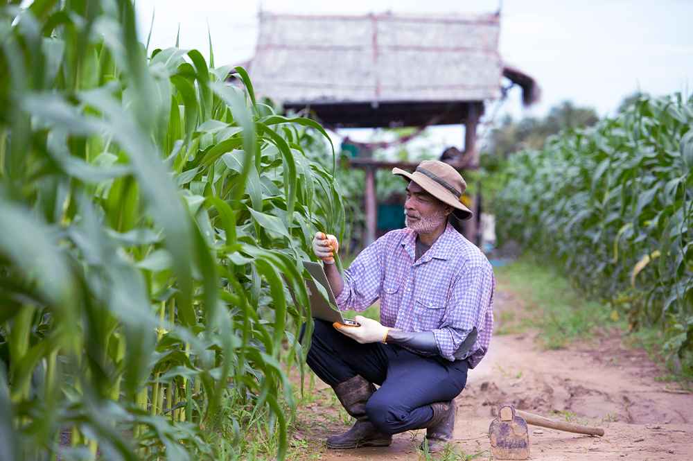 Na imagem, um produtor rural está avaliando uma plantação de milho.